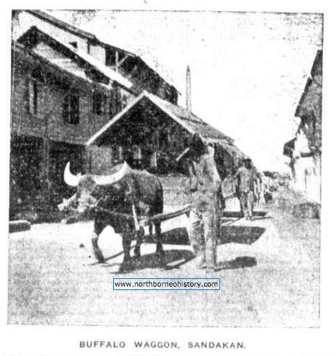 lembu_kerbau_transport_sandakan_1922